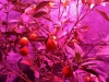 kumquat_ledcont_led_growlight9