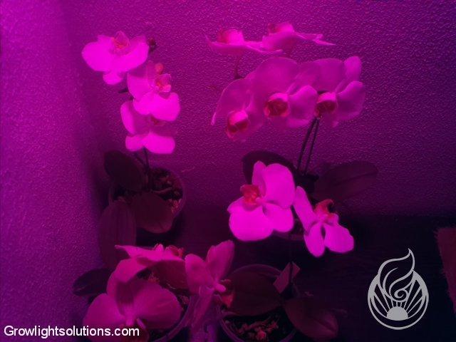 growlight solutionsorchideen mit flora led beleuchtung growlight solutions. Black Bedroom Furniture Sets. Home Design Ideas