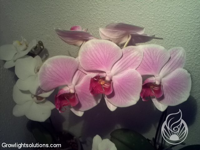 Led Beleuchtung Orchideen :  posted in orchideen mit flora led beleuchtung 1 16 led orchideen 2 16