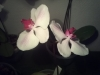 Led Orchideen11